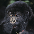 Infant Gorilla Eating Berries